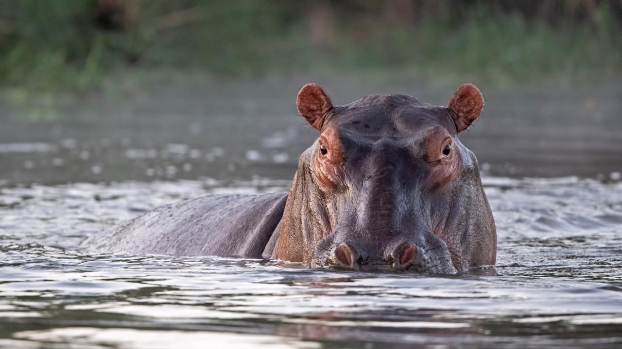 Hipopotam nilowy: czy jest niebezpieczny? Jakie są największe zagrożenia  dla tego gatunku? - National Geographic