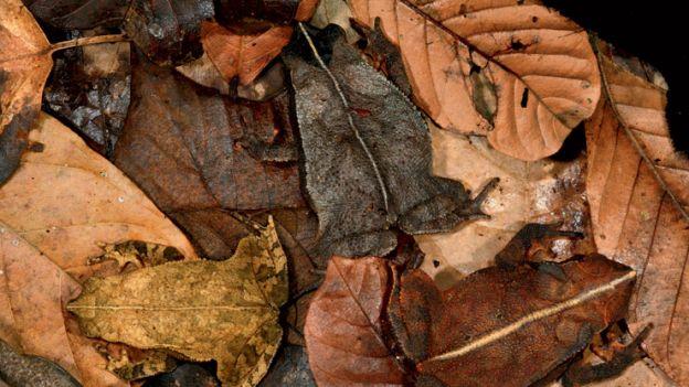 01-leaf-toads
