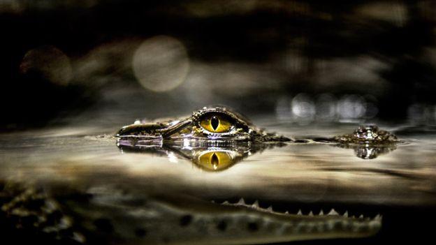 01-nile-crocodile-714