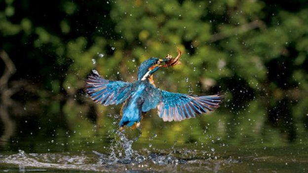06-kingfisher-rising-714