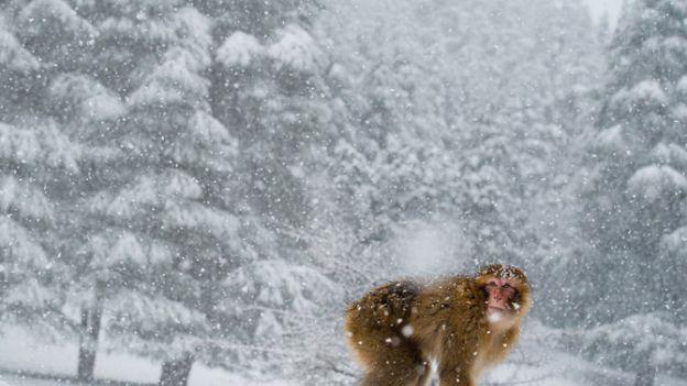 01-barbary-macaque-atlas-mountains-morocco-snow-670