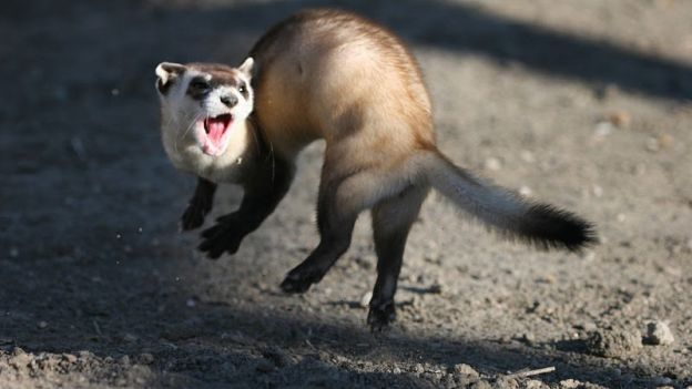 Jumping_black_footed_ferret