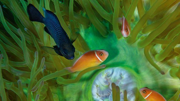01-damselfish-and-trio-anemonefish-670