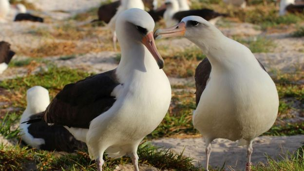 1 albatros