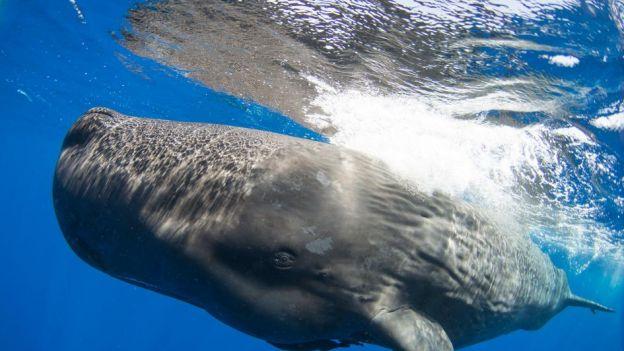 Wieloryby mają dialekty i klany