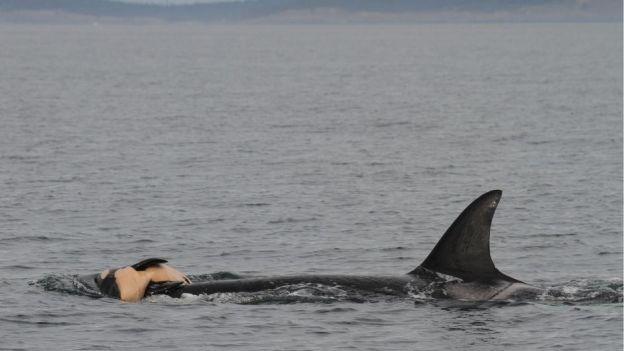 Morskie ssaki opłakują zmarłych