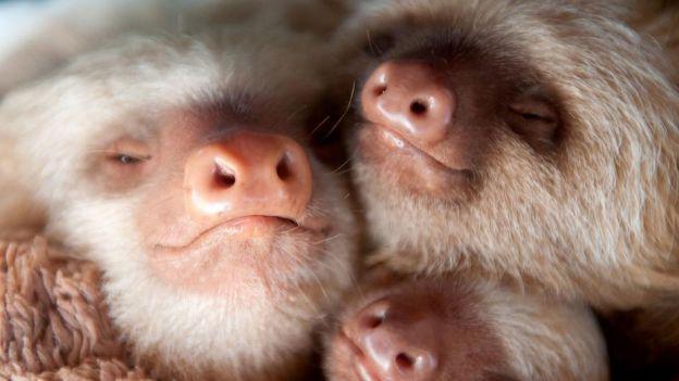 Masz zły dzień? Oglądając te zdjęcia na pewno się uśmiechniesz! Galeria małych leniwców
