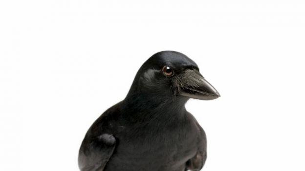 Wrona brodata