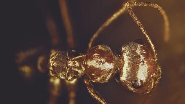 Ta mrówka wytrzymuje temperaturę, która nas by zabiła. Jak to robi?