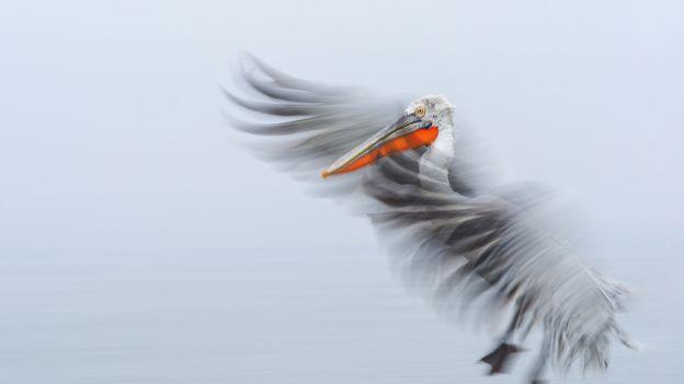 Pelikan kędzierzawy