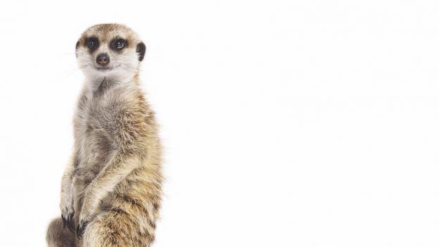 Surykatka -  suricata suricatta