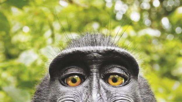 Smutny los makaków z Celebes