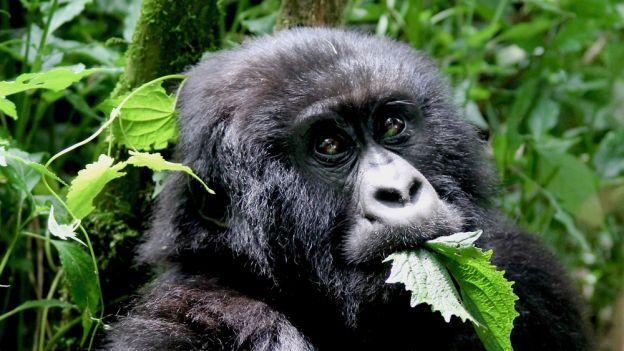 Śpiewające goryle