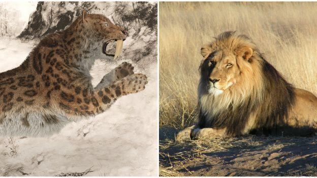 Czy lwy podzielą los tygrysów szablozębnych? Są powody do obaw