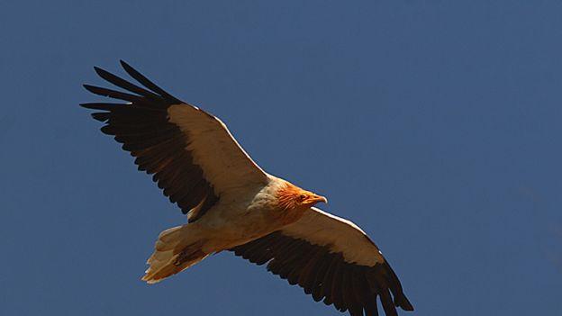 Ten ptak potrafi się malować! Mieszka na Wyspach Kanaryjskich