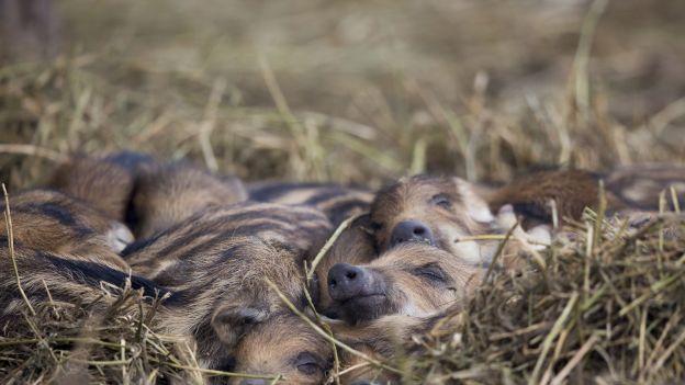 Do końca lutego mogą zostać zabite prawie wszystkie dziki. To będzie zagłada tego gatunku w Polsce