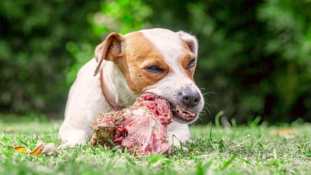 Dajesz psu surowe mięso? To może być niebezpieczne dla ciebie i dla niego