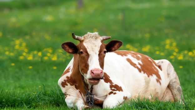 Ponad 170 żyjących dziko krów ma zginąć. Jest protest