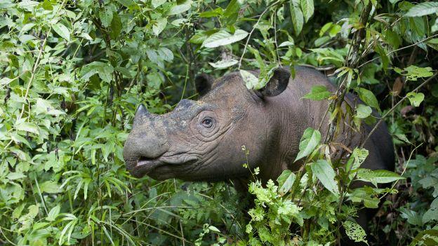 Gatunek na granicy wymarcia. Zmarł ostatni samiec sumatrzańskiego nosorożca w Malezji