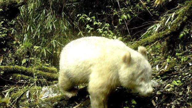 Takiego osobnika jeszcze nie widziano. Panda albinos w Chinach