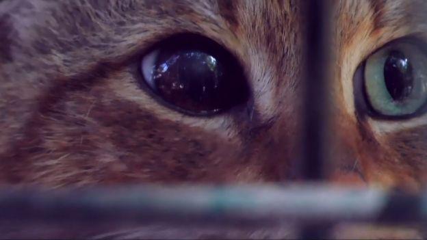 Jest kotem. Jest lisem. Jednocześnie? Fascynujące zwierzę odnalezione na Korsyce