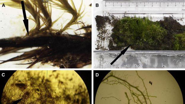 Mech zamrożony na 1500 lat wypuszcza młode pędy.