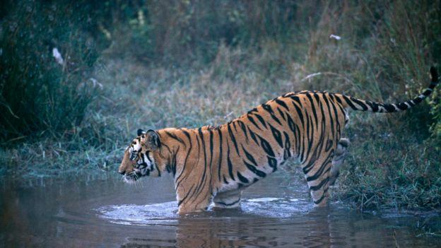 Nareszcie dobra wiadomość! W Indiach zanotowano wzrost populacji tygrysów