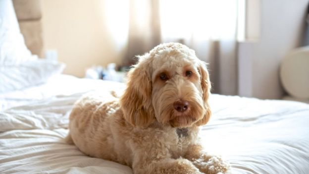 Pies rasy labradoodle Getty Images