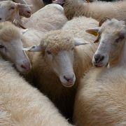 Oko owcy