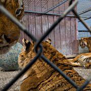 02-ohio-five-pet-tigers-670