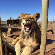 "National Geographic Polska on Instagram: ""Fot. Joanna Kopka @natgeopl Wild Cat Sanctuary, Kimberley, RPA #natgeo #lion #rpa #kimberley #wild #cat #sanctuary #mood #yawn #instagood…"""