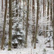 Puszcza Białowieska - wycinka drzew - kornik drukarz.