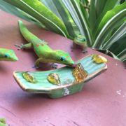 Gekony hawajskie na śniadaniu