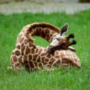 14 spotkań z żyrafami
