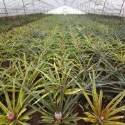 3.  Najsmaczniejsze ananasy
