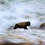 Bizon w ruchu