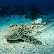 Dzieworództwo u rekinów