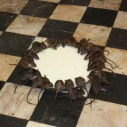 Świątynia szczurów, czyli hinduska Karni Mata