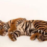 Dzień Tygrysów - zobacz sesję tygrysiego kociaka