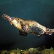 Jest jadowity, składa jaja i jest ssakiem. Dziobak to dowcip czy mistrzostwo ewolucji?