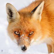 Lisica uwodzicielka