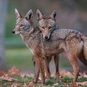 Najbardziej znienawidzone zwierzę w USA przechytrzyło wszystkich. Co się stało?
