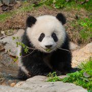 Panda Wielka uratowana