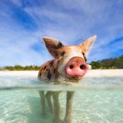 Pływające świnie – Wyspy Bahama