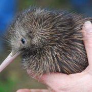 Kiwi – Nowa Zelandia