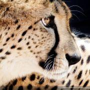 Gepard gwiazdor
