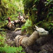 Alpaki w Peru nierzadko hoduje się na mięso.