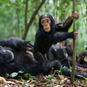 Młode szympansy bawią się jak ludzkie dzieci.  Nic dziwnego, nasze DNA pokrywa się  w 98 procentach.