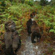 Bangha, osierocony goryl