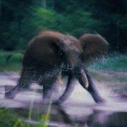 Szarżujący słoń